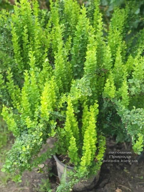 Барбарис Тунберга Эректа (Berberis thunbergii Erecta) ФОТО Питомник растений Природа (13)