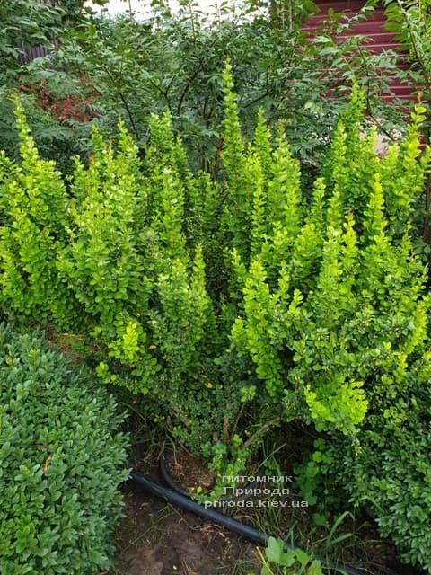 Барбарис Тунберга Эректа (Berberis thunbergii Erecta) ФОТО Питомник растений Природа (14)
