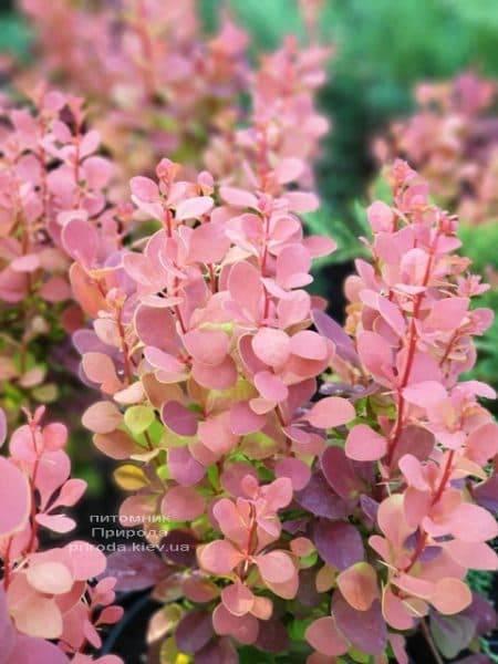 Барбарис Тунберга Оранж Пиллар (Berberis thunbergii Orange Pillar) ФОТО Розплідник рослин Природа (2)
