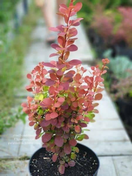 Барбарис Тунберга Оранж Пиллар (Berberis thunbergii Orange Pillar) ФОТО Розплідник рослин Природа (3)