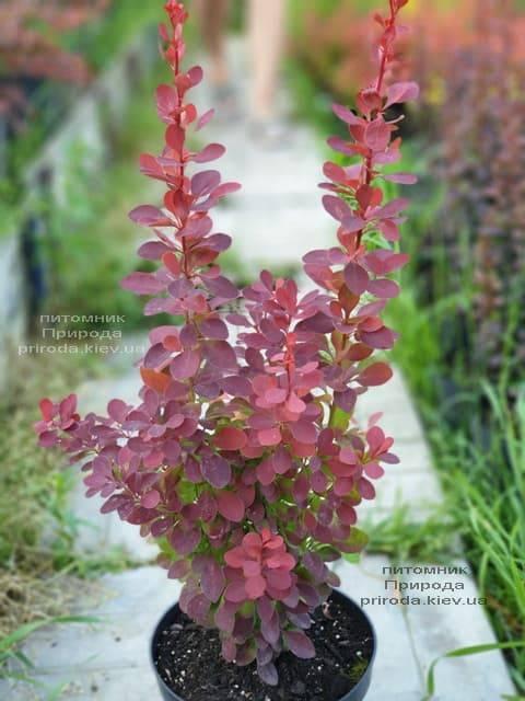 Барбарис Тунберга Оранж Тауэр (Berberis thunbergii Orange Tower) ФОТО Питомник растений Природа (1)