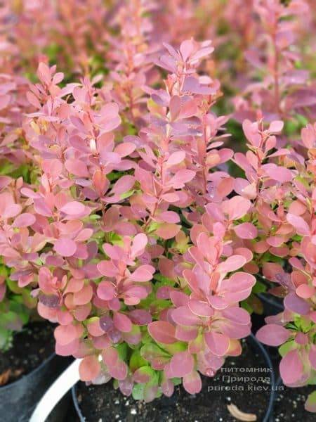 Барбарис Тунберга Оранж Тауэр (Berberis thunbergii Orange Tower) ФОТО Питомник растений Природа (3)