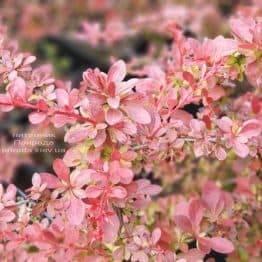 Барбарис Тунберга Рэд Карпет (Berberis thunbergii Red Carpet) ФОТО Питомник растений Природа (1)