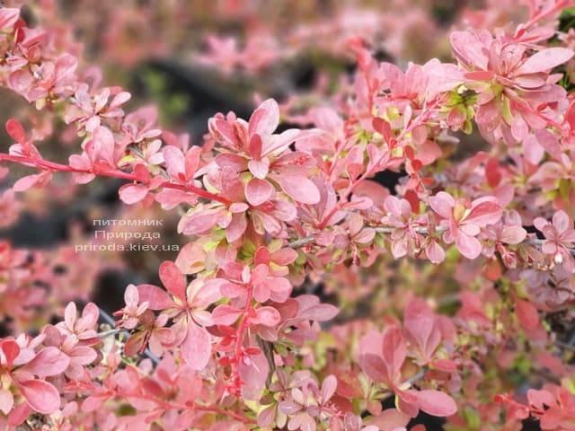 Барбарис Тунберга Ред Карпет (Berberis thunbergii Red Carpet) ФОТО Розплідник рослин Природа (1)