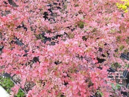 Барбарис Тунберга Ред Карпет (Berberis thunbergii Red Carpet) ФОТО Розплідник рослин Природа (2)