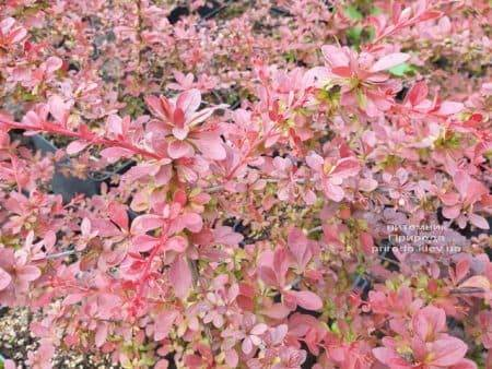 Барбарис Тунберга Ред Карпет (Berberis thunbergii Red Carpet) ФОТО Розплідник рослин Природа (3)