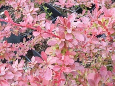 Барбарис Тунберга Рэд Карпет (Berberis thunbergii Red Carpet) ФОТО Питомник растений Природа (4)