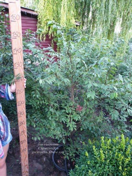 Бересклет крилатий (Euonymus alatus) ФОТО Розплідник рослин Природа (10)