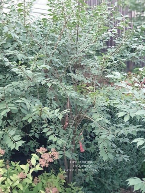 Бересклет крылатый (Euonymus alatus) ФОТО Питомник растений Природа (13)