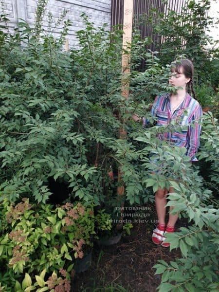 Бересклет крылатый (Euonymus alatus) ФОТО Питомник растений Природа (9)