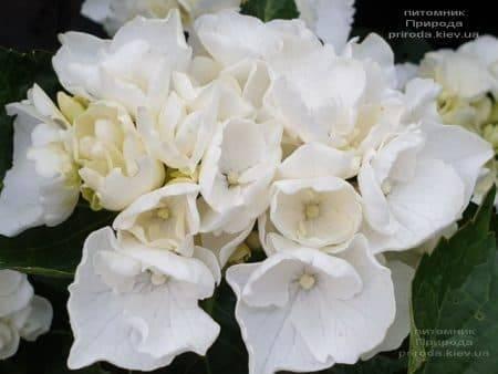 Гортензия крупнолистная Вайт Делайт (Hydrangea macrophylla White Delight) ФОТО Питомник растений Природа (1)