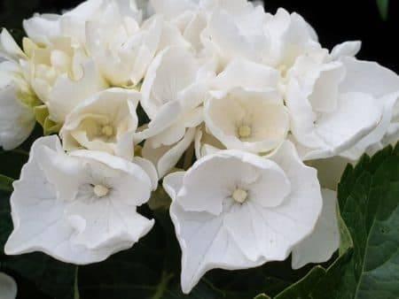 Гортензия крупнолистная Вайт Делайт (Hydrangea macrophylla White Delight) ФОТО Питомник растений Природа (2)