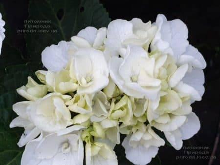 Гортензия крупнолистная Вайт Делайт (Hydrangea macrophylla White Delight) ФОТО Питомник растений Природа (4)