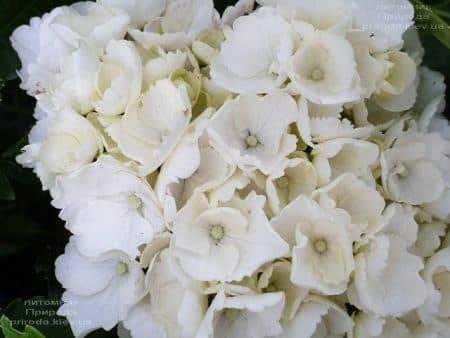 Гортензия крупнолистная Вайт Делайт (Hydrangea macrophylla White Delight) ФОТО Питомник растений Природа (5)