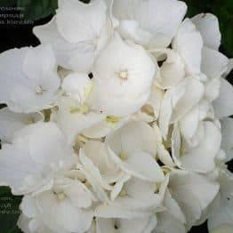 Гортензія крупнолистная Вайт Делайт (Hydrangea macrophylla White Delight) ФОТО Розплідник рослин Природа (6)