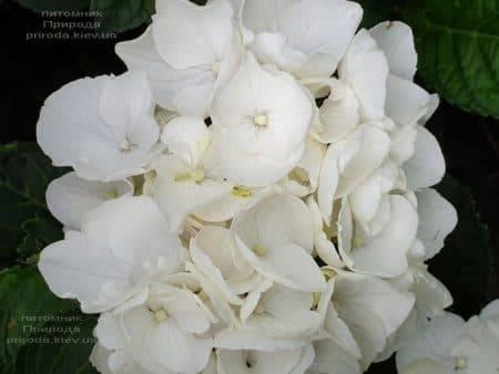 Гортензия крупнолистная Вайт Делайт (Hydrangea macrophylla White Delight) ФОТО Питомник растений Природа (6)