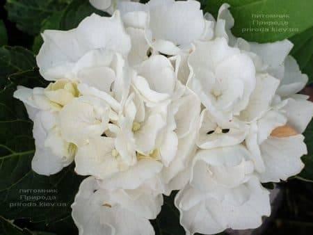 Гортензия крупнолистная Вайт Делайт (Hydrangea macrophylla White Delight) ФОТО Питомник растений Природа (7)