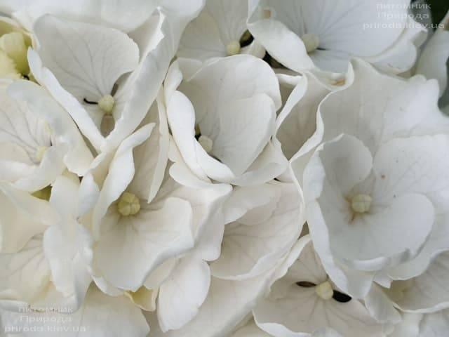 Гортензия крупнолистная Вайт Делайт (Hydrangea macrophylla White Delight) ФОТО Питомник растений Природа (8)