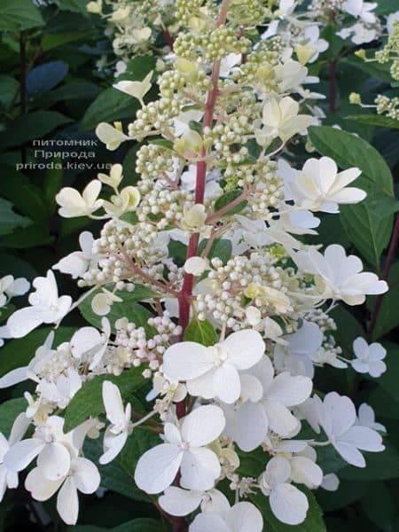 Гортензия метельчатая Канделайт (Hydrangea paniculata Candlelight) ФОТО Питомник растений Природа (1)