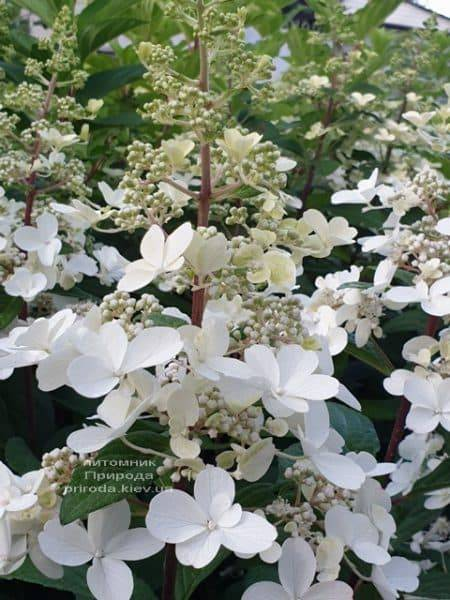Гортензия метельчатая Канделайт (Hydrangea paniculata Candlelight) ФОТО Питомник растений Природа (2)