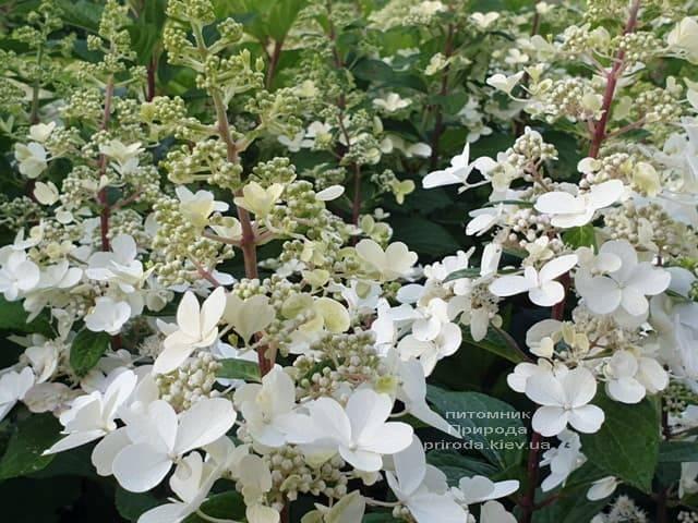 Гортензия метельчатая Канделайт (Hydrangea paniculata Candlelight) ФОТО Питомник растений Природа (3)