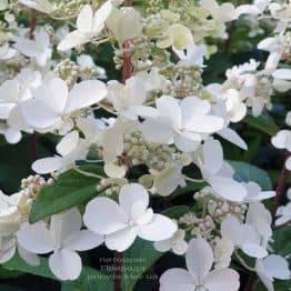 Гортензія волотисте Канделайт (Hydrangea paniculata Candlelight) ФОТО Розплідник рослин Природа (5)