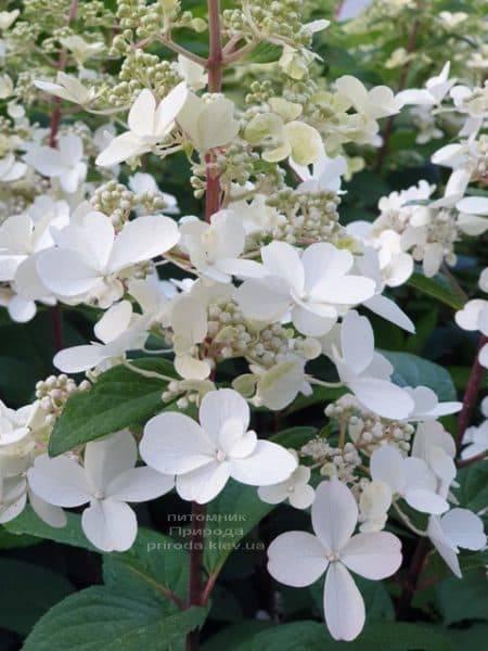 Гортензия метельчатая Канделайт (Hydrangea paniculata Candlelight) ФОТО Питомник растений Природа (5)