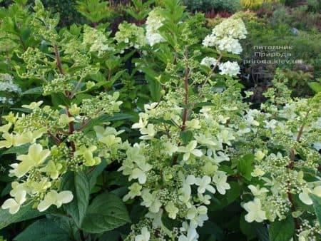 Гортензия метельчатая Канделайт (Hydrangea paniculata Candlelight) ФОТО Питомник растений Природа (7)