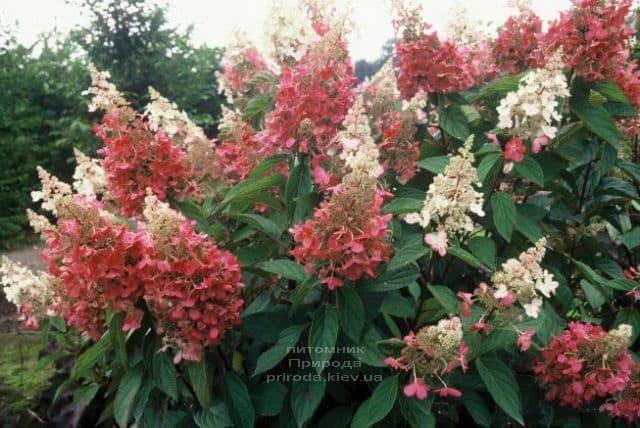 Гортензия метельчатая Пинк Даймонд (Hydrangea paniculata Pink Diamond) ФОТО Питомник растений Природа (1)