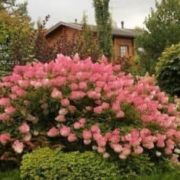 Гортензія волотисте Пінк Даймонд (Hydrangea paniculata Pink Diamond) ФОТО Розплідник рослин Природа (2)