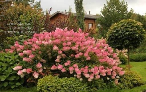 Гортензия метельчатая Пинк Даймонд (Hydrangea paniculata Pink Diamond) ФОТО Питомник растений Природа (2)