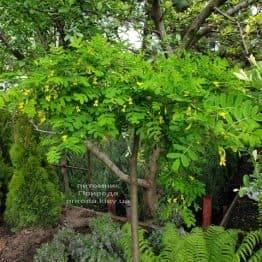 Карагана Пендула (Caragana arborescens Pendula) ФОТО Розплідник рослин Природа (2)