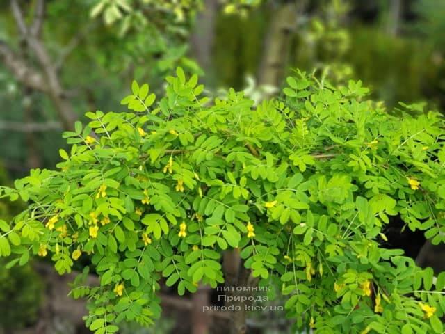Карагана Пендула (Caragana arborescens Pendula) ФОТО Питомник растений Природа (3)