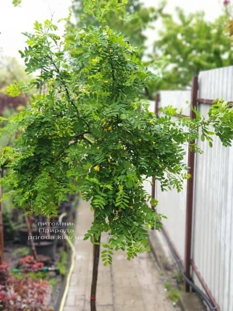 Карагана Пендула (Caragana arborescens Pendula) ФОТО Питомник растений Природа (4)
