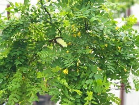 Карагана Пендула (Caragana arborescens Pendula) ФОТО Питомник растений Природа (5)