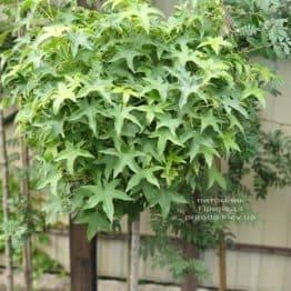 Ликвидамбар смолоносный на штамбе (Liquidambar styraciflua) ФОТО Питомник растений Природа (1)