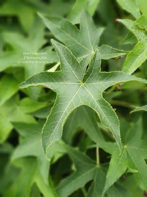 Ликвидамбар смолоносный на штамбе (Liquidambar styraciflua) ФОТО Питомник растений Природа (2)