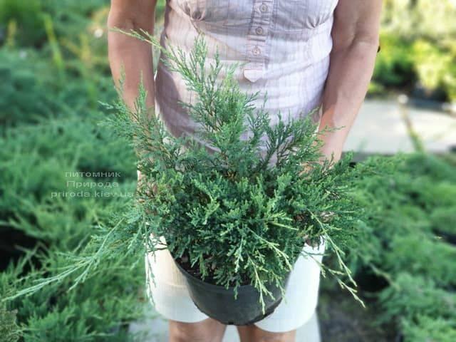 Ялівець горизонтальний Хьюз (Juniperus horizontalis Hughes) ФОТО Розплідник рослин Природа (2)