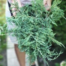 Можжевельник горизонтальный Плюмоза (Juniperus horizontalis Plumosa) ФОТО Питомник растений Природа (1)