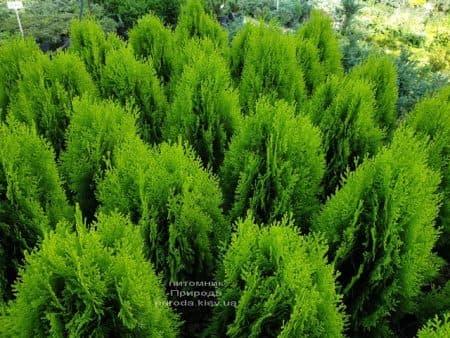 Туя східна Ауреа Нана (Thuja orientalis Aurea Nana) ФОТО Розплідник рослин Природа (2)