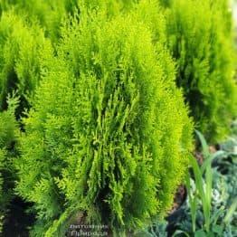 Туя восточная Ауреа Нана (Thuja orientalis Aurea Nana) ФОТО Питомник растений Природа (3)
