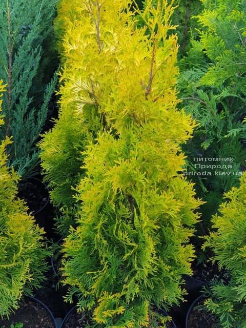 Туя западная Янтарь (Thuja occidentalis Jantar) ФОТО Питомник растений Природа (1)