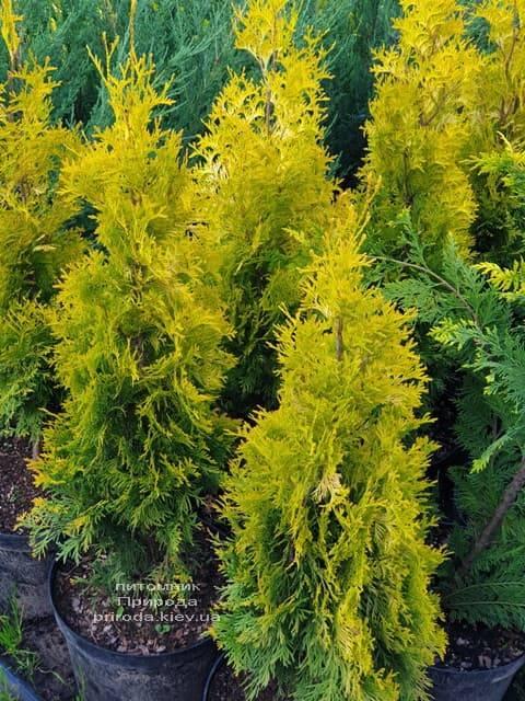 Туя западная Янтарь (Thuja occidentalis Jantar) ФОТО Питомник растений Природа (2)