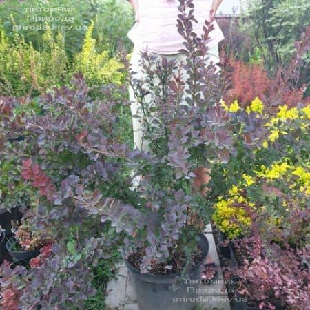 Барбарис Тунберга Атропурпуреа (Berberis thunbergii Atropurpurea) ФОТО Питомник растений Природа (5)