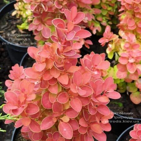 Барбарис Тунберга Оранж Айс (Berberis thunbergii Orange Ace) ФОТО Питомник растений Природа (3)