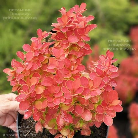 Барбарис Тунберга Оранж Айс (Berberis thunbergii Orange Ace) ФОТО Розплідник рослин Природа (5)