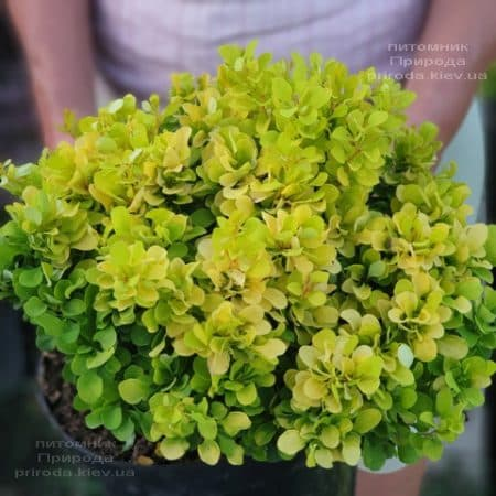 Барбарис Тунберга Тини Голд (Berberis thunbergii Tiny Gold) ФОТО Питомник растений Природа (2)