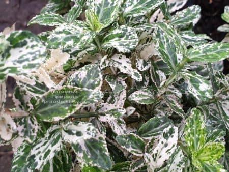 Бересклет Форчуна Арлекин (Euonymus fortunei Harlequin) ФОТО Питомник растений Природа (3)