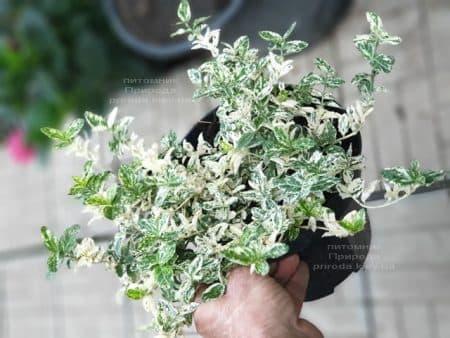 Бересклет Форчуна Арлекин (Euonymus fortunei Harlequin) ФОТО Питомник растений Природа (5)