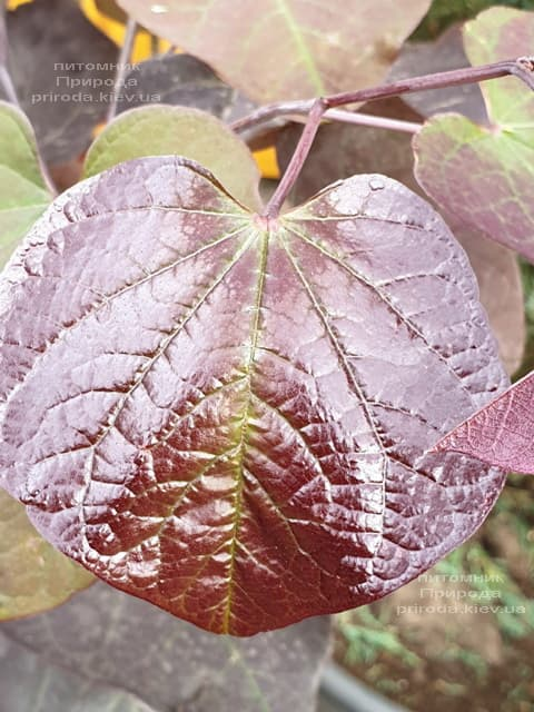 Церцис канадский Форест Панси (Cercis canadensis Forest Pansy) ФОТО Питомник растений Природа (2)